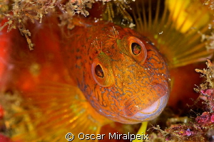Blenny by Oscar Miralpeix 